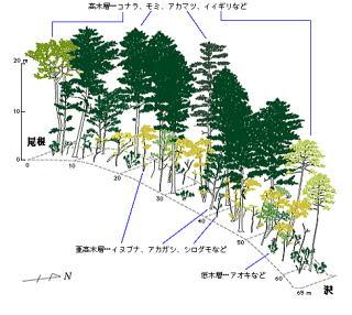植物園記念館近くのモミ林断面図