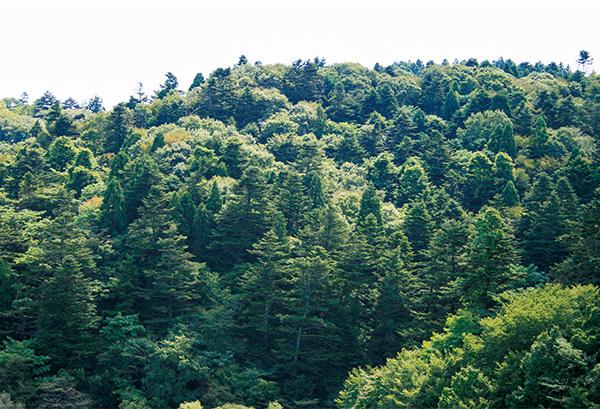 青葉山のモミ林