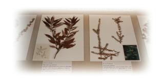 ヤナギ属のさく葉標本